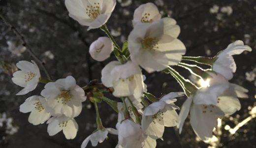 【まだ続く?湾奥河川バチパターン】桜咲く旧江戸川シーバス短時間釣行