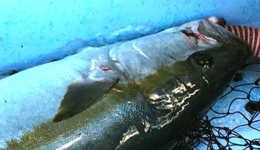 【ヒラマサ14kgオーバー出現!】外房ヒラマサジギング一年越しのリベンジ釣行記