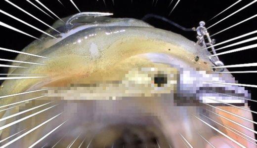 【ハクパターンの最終兵器】食わない魚を無理やり…な荒川シーバス釣行