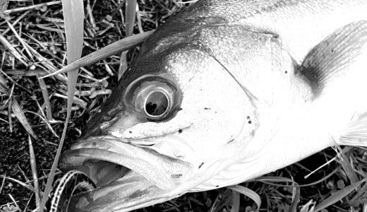 【中川シーバス釣行】釣れない日々の果てに…