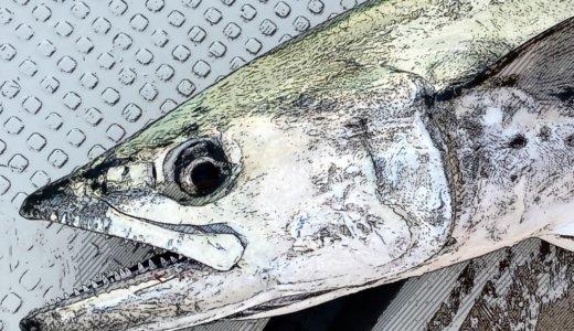 【東京湾ボート釣行】ノットイナフでサワラ釣り