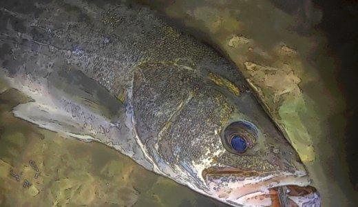【旧江戸川シーバス釣行】牡蠣瀬とコノシロとウェーディング
