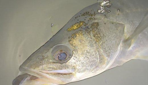 【多摩川シーバス釣行】母なる川でウェーディングコノシロパターン
